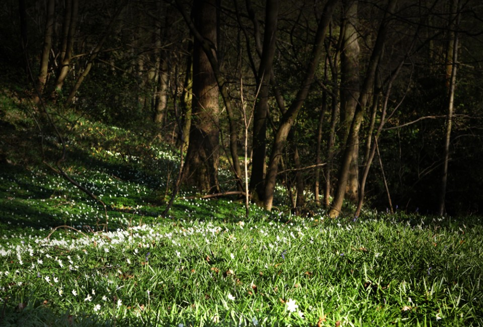 snowdrops in wood