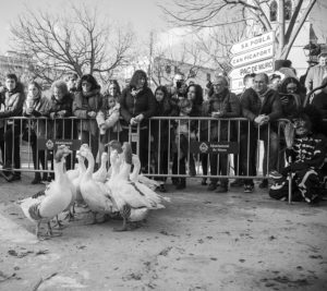 flock of geese with crowd